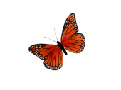 Schmetterling Federn L 29 x 19cm orange